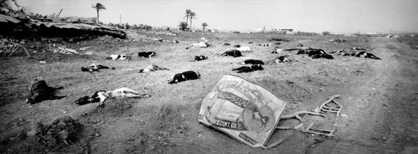 Gaza Strip January 26,2009, approx. 3 km away from the Israel borderline in the industrial area of east Jabalya, dead cows lay strewn around as a result of heavy bombing and shelling of this area. A farmer said he lost around 500 cows.