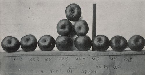 Fotógrafo desconocido: Apples grown by irrigation at Artesia, New Mexico, 1907