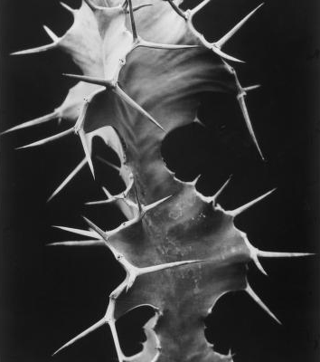 Albert Renger-Patzsch - Euphorbia Grandicornis, 1925